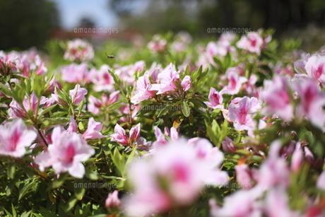 岡崎公園のツツジの写真素材 [FYI04781463]