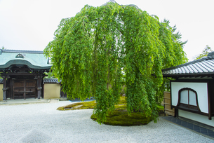 高台寺の枝垂れ桜(葉桜)の写真素材 [FYI04781614]