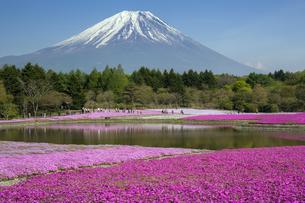 富士山と芝桜の写真素材 [FYI04781818]