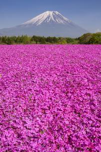 富士山と芝桜の写真素材 [FYI04781819]