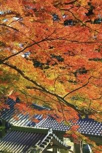 紅葉の長谷寺 の写真素材 [FYI04781970]