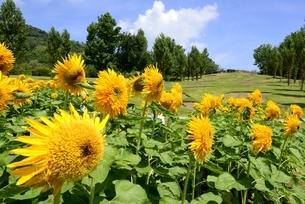 淡路島,国営明石海峡公園,ヒマワリの花とポプラの丘の写真素材 [FYI04782098]