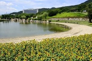淡路島,国営明石海峡公園,花の中海とヒマワリの花の写真素材 [FYI04782127]
