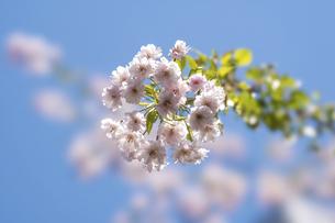 青空に映える桜 (紅しだれサクラ)の写真素材 [FYI04782226]