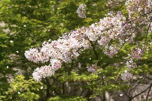 満開の桜と桜吹雪の写真素材 [FYI04782228]