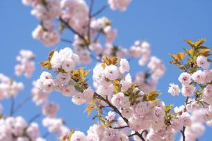 春の陽気と満開の桜の写真素材 [FYI04782232]