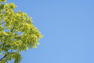 新緑のけやきの写真素材 [FYI04782236]