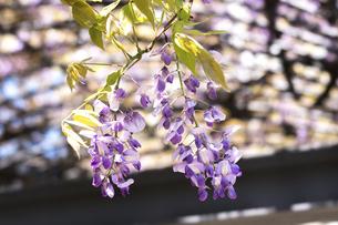 藤の花の写真素材 [FYI04782237]
