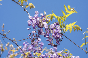 藤の花の写真素材 [FYI04782238]