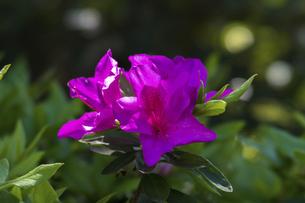 つつじの花の写真素材 [FYI04782241]