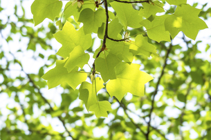 新緑のユリノキの写真素材 [FYI04782254]