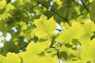 新緑のユリノキの写真素材 [FYI04782257]