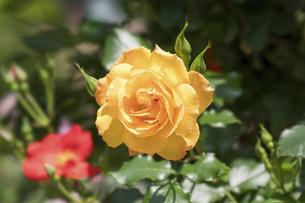 黄色い薔薇の花の写真素材 [FYI04782260]