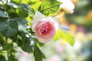淡いピンクの薔薇の花の写真素材 [FYI04782261]