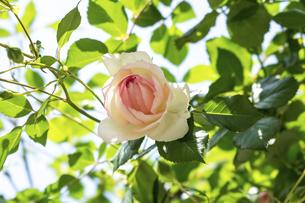 淡いピンクの薔薇の花の写真素材 [FYI04782262]