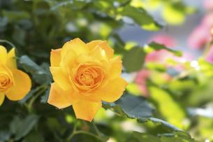 黄色い薔薇の花の写真素材 [FYI04782263]