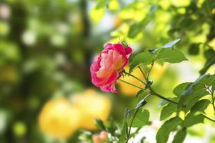 赤い薔薇の花の写真素材 [FYI04782264]