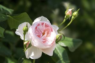 淡いピンクの薔薇の花の写真素材 [FYI04782266]