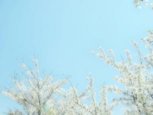 水色の空と桜の写真素材 [FYI04782281]