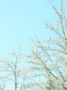水色の空と桜の写真素材 [FYI04782282]