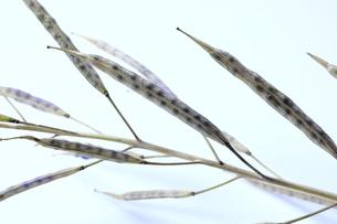 カラシナのさやと種子の写真素材 [FYI04782390]