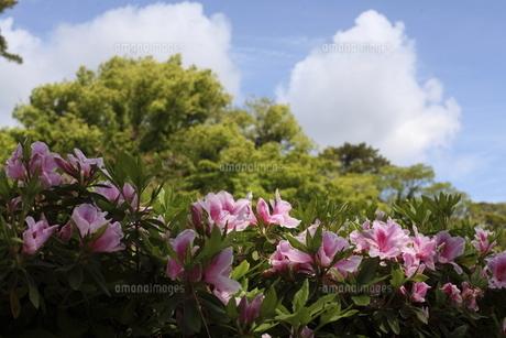 岡崎公園のツツジの写真素材 [FYI04782497]