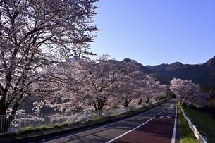 朝陽の中の桜並木の写真素材 [FYI04782515]