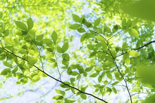 新緑の写真素材 [FYI04782531]