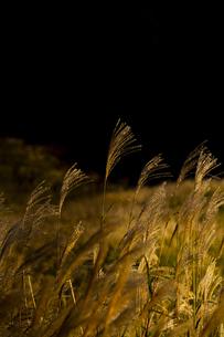 仙石原高原のススキ ⑤の写真素材 [FYI04782900]