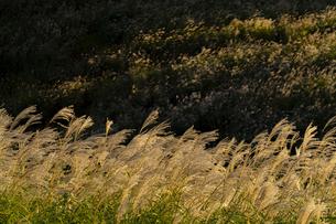 仙石原高原のススキ ④の写真素材 [FYI04782901]