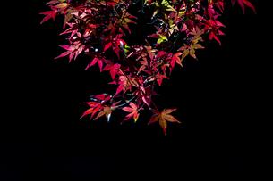 小石川後楽園 / 暗がりに浮かぶ紅葉 ③の写真素材 [FYI04782903]