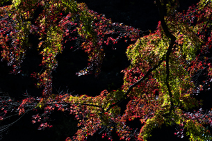 小石川後楽園 / 暗がりに浮かぶ紅葉 ②の写真素材 [FYI04782904]