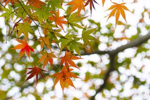小石川後楽園 / 明るい紅葉 ②の写真素材 [FYI04782906]