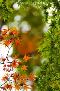 小石川後楽園 / 赤と緑の紅葉の写真素材 [FYI04782907]