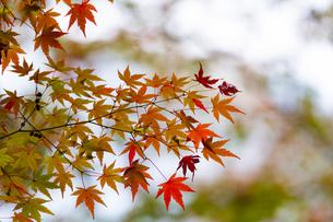 小石川後楽園 / 明るい紅葉の写真素材 [FYI04782908]