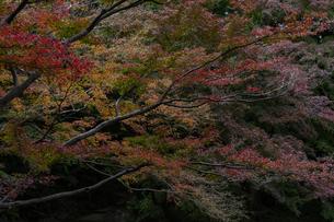 小石川後楽園 / 多彩な紅葉の写真素材 [FYI04782912]