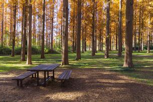 水元公園のメタセコイアとベンチの写真素材 [FYI04782916]