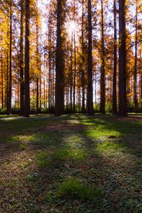 水元公園のメタセコイア【逆光】の写真素材 [FYI04782917]