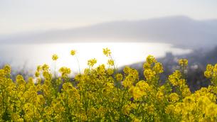吾妻山の菜の花と相模湾の写真素材 [FYI04782921]