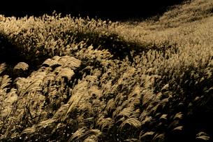 仙石原高原のススキ ①の写真素材 [FYI04782924]