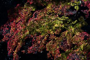 小石川後楽園 / 暗がりに浮かぶ紅葉の写真素材 [FYI04782930]