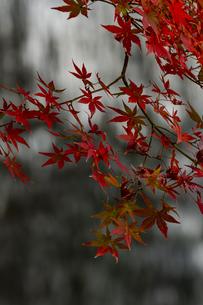 小石川後楽園 / 紅葉と滝の写真素材 [FYI04782937]