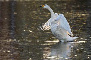 川島町 / 夕陽を浴びて羽ばたく白鳥 の写真素材 [FYI04782938]