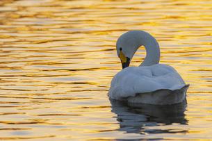 川島町 / 夕暮れの湖に佇む白鳥の写真素材 [FYI04782939]