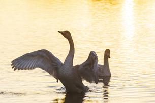 川島町 / 朝陽を浴びて羽ばたく白鳥の写真素材 [FYI04782942]