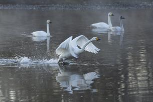 川島町 / 飛翔する白鳥 ②の写真素材 [FYI04782945]