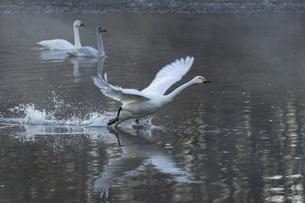 川島町 / 飛翔する白鳥 ③の写真素材 [FYI04782947]