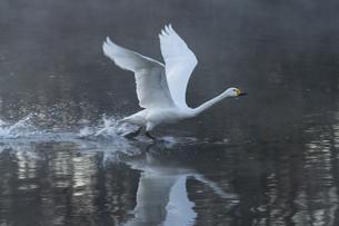 川島町 / 飛翔する白鳥 ④の写真素材 [FYI04782949]