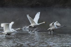 川島町 / 飛翔する白鳥 ⑥の写真素材 [FYI04782952]