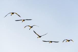 川島町 / 群れで飛ぶ白鳥の写真素材 [FYI04782960]